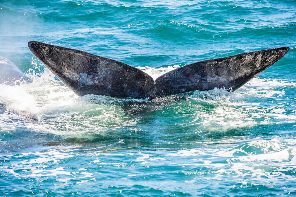 Southern Right Whale, Walker Bay, South Africa