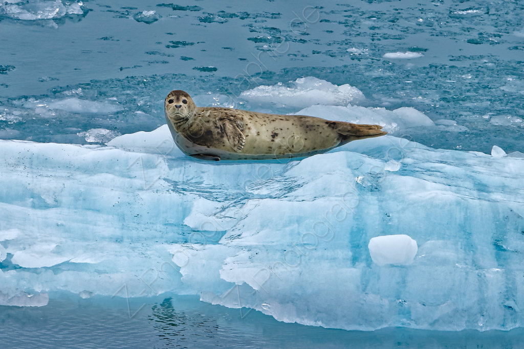 Seal, Disenchantment Bay, Alaska, USA